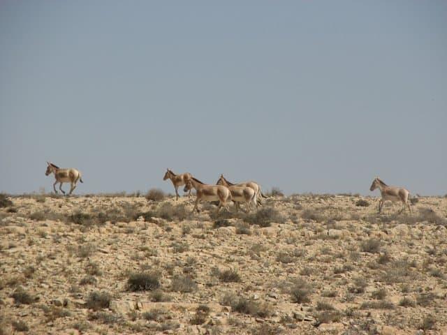 The Desert Animal world : herd of wild asses on Mount Ramon.