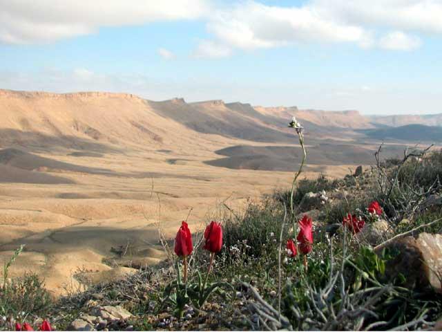 desert tulip ,ramon crater